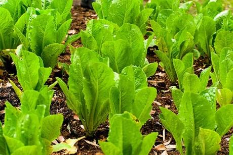 http://media.salon.com/2010/05/braise_away_the_e_coli_lettuce_recall_blues-460x307.jpg