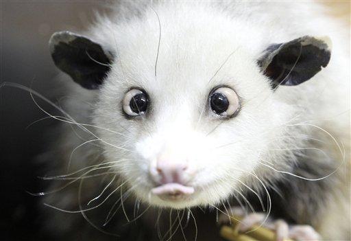 Heidi the cross-eyed possum: Germany's new Knut - Salon.com