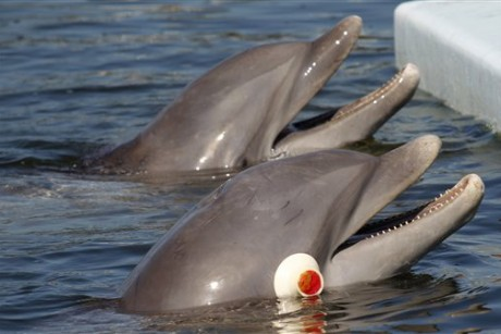 Study explores how blindfolded dolphins can 'see'