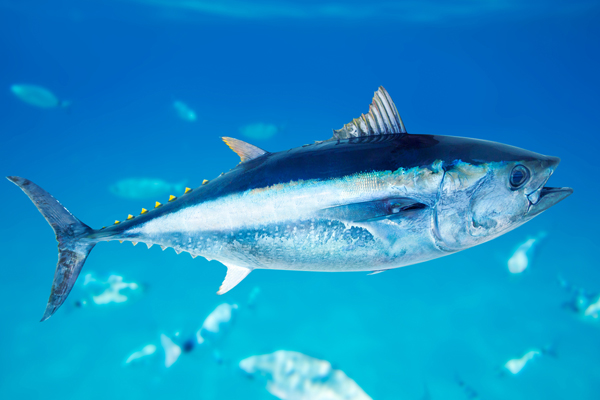 Why are we still eating bluefin tuna for What do tuna fish eat