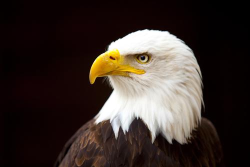 the american bald eagle essay