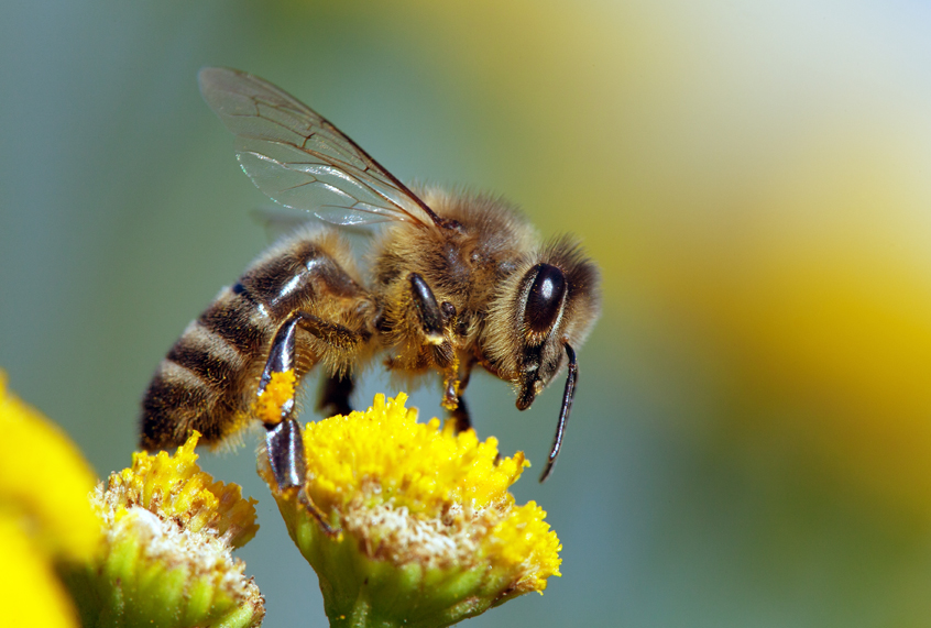 Beyond honey bees: Wild bees are also key pollinators, and some