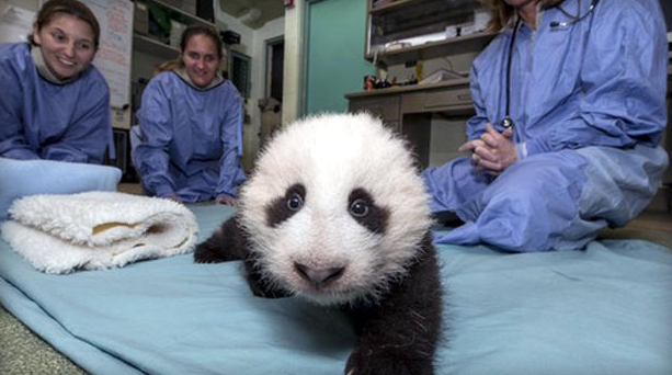 Cute science: Pandas can help fight superbugs
