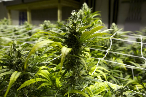 Dozens interested in pot consultancy gig