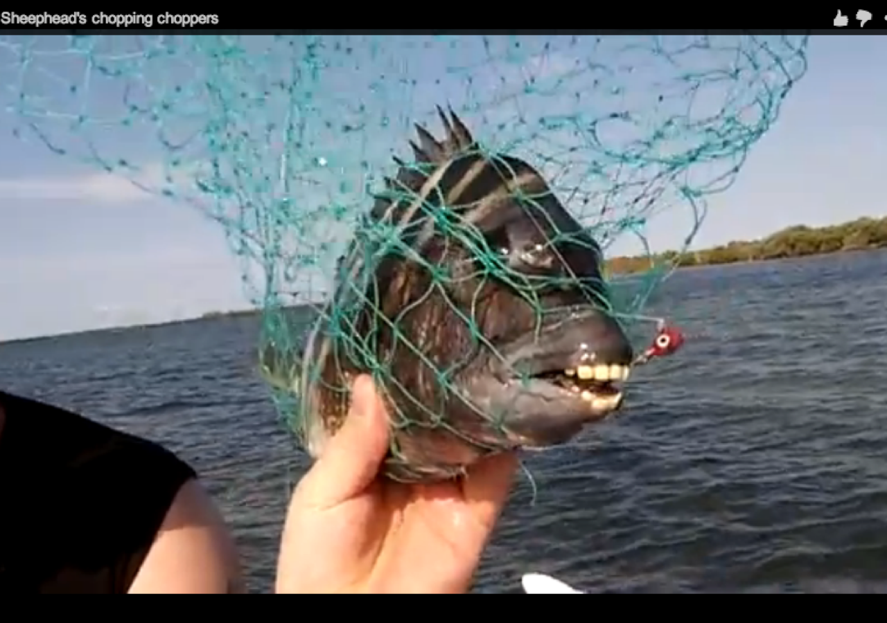 small screenshot 1 office fish. this sheepshead fish with human teeth will haunt your dreams saloncom small screenshot 1 office