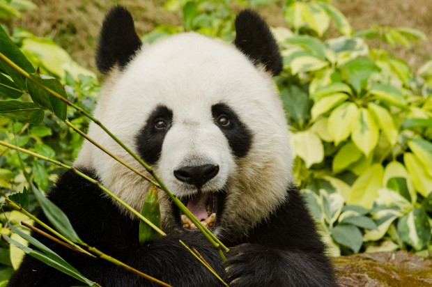 Meet Colin: The porn-watching giant panda