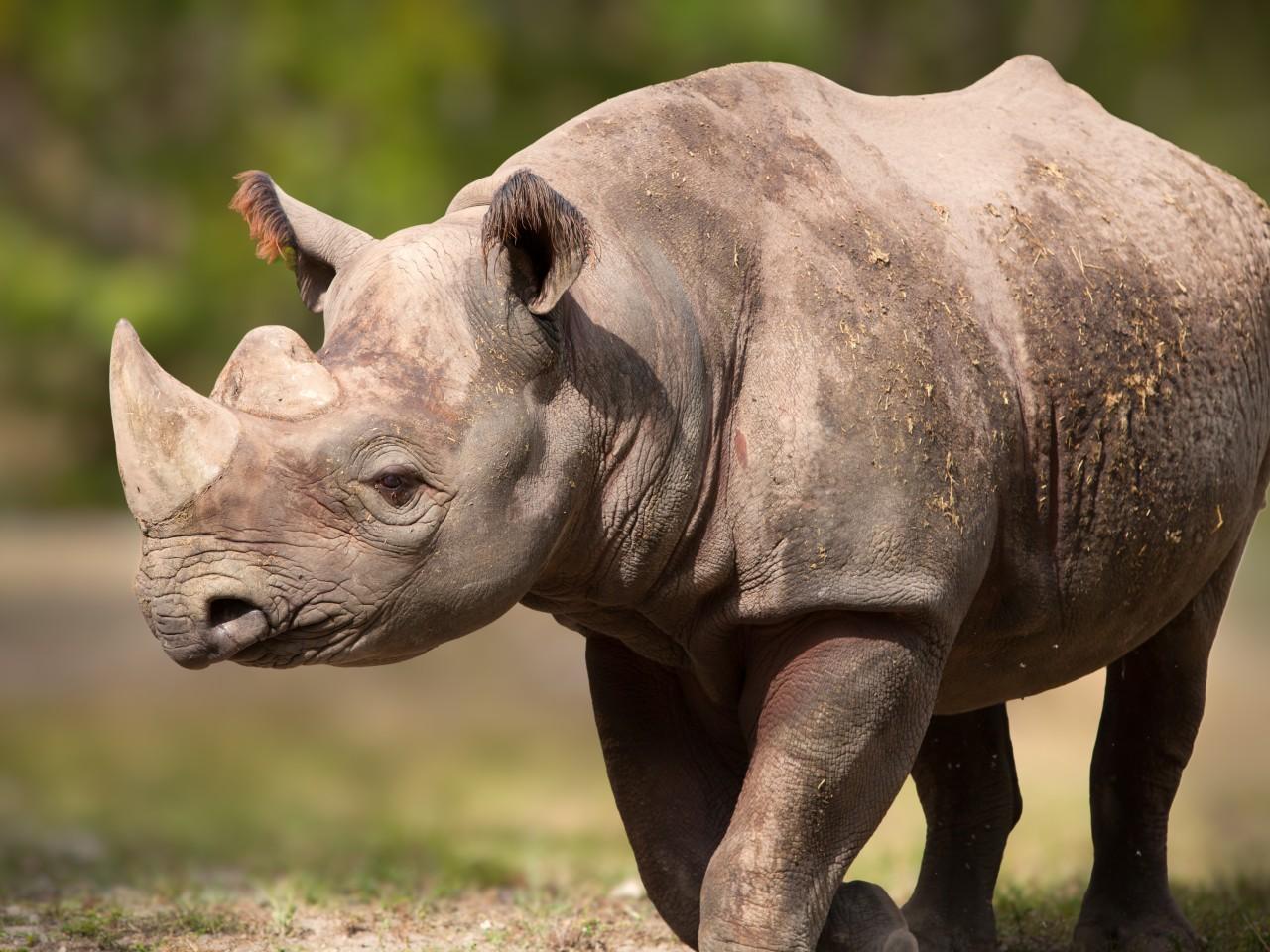 Save the rhino! - Salon.com