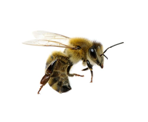 Without honeybees, we may cease to be