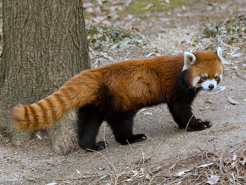 Red asian raccoon bear