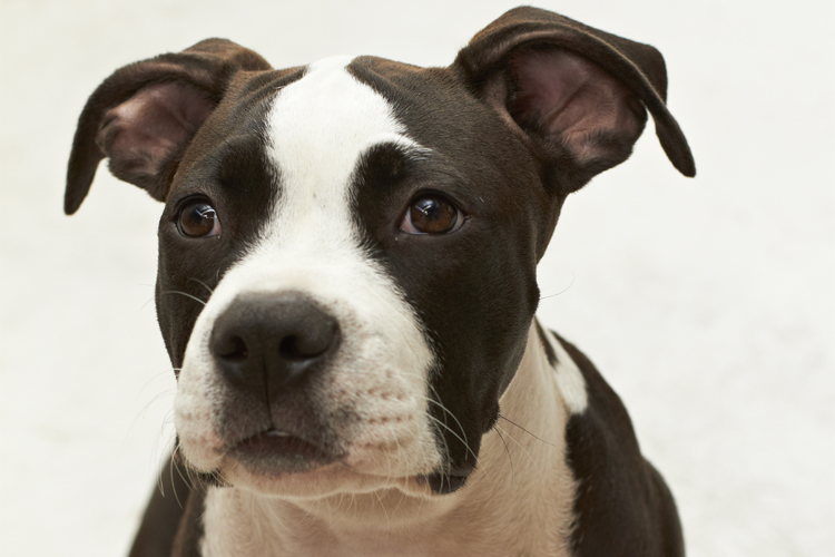 Different Kinds Of Pit Bulls | Dog Breeds Picture