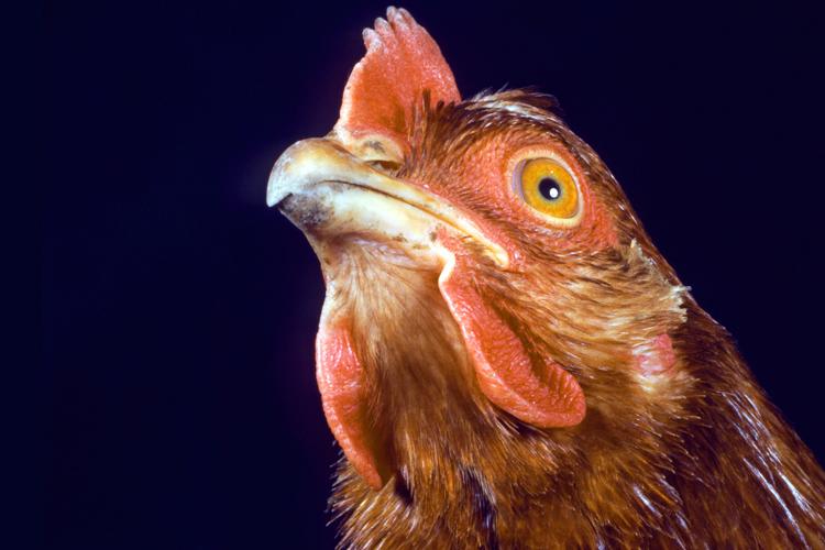 Chicken is killing the planet | Salon com