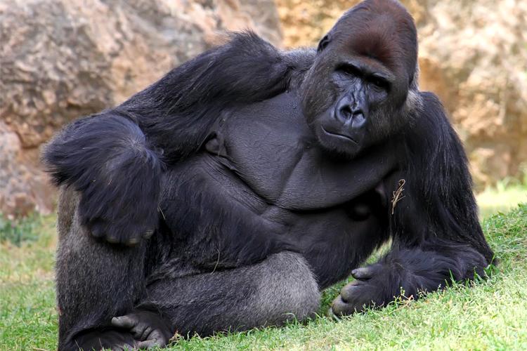 Clothed gorilla fuck a woman