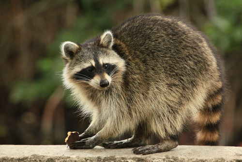 Alabama To Animal Rescuers Let The Baby Raccoons Die