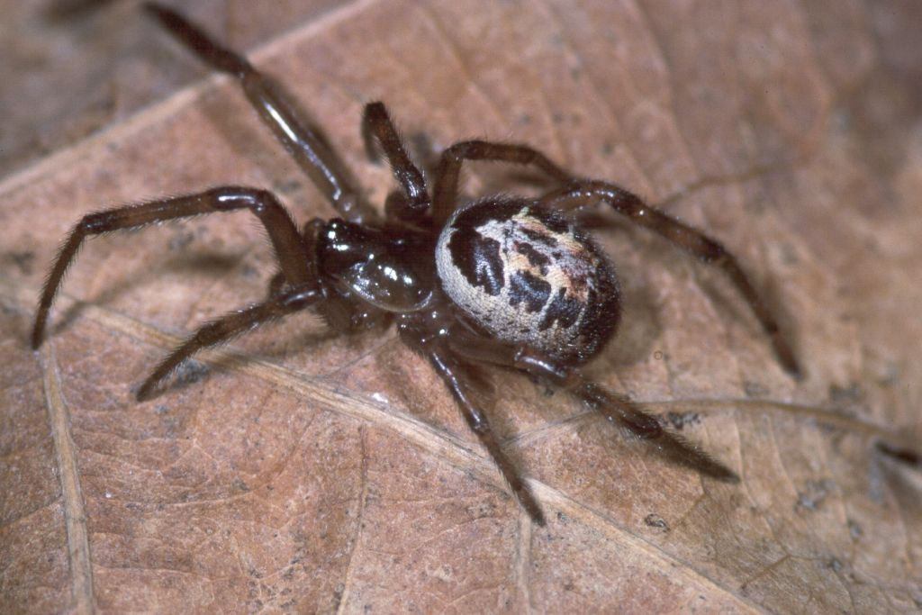how to get rid of false black widow spider