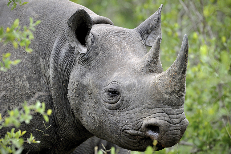 South African rhinos being slaughtered in record numbers - Salon.com