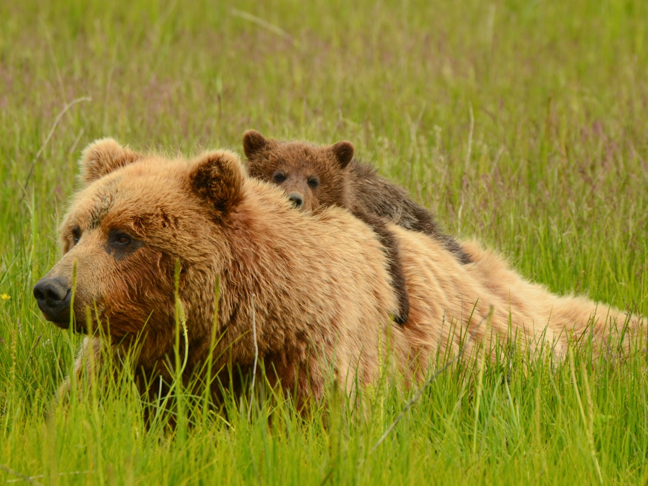 Home On The Range How To Live With Grizzly Bears Salon Com
