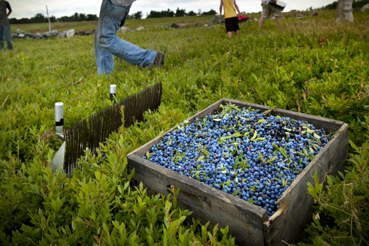 Blueberry lies: WSJ spearheads disingenuous effort to keep ...