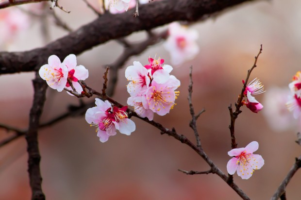 Mysterious cherry trees from space bloom years ahead of schedule
