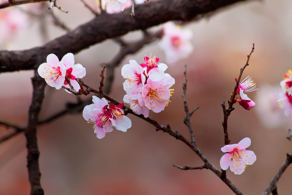 Mysterious cherry trees from space bloom years ahead of ...