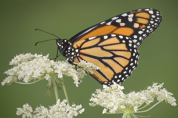 Monsanto vs. the monarchs: The fight to save the world's most stunning butterfly migration