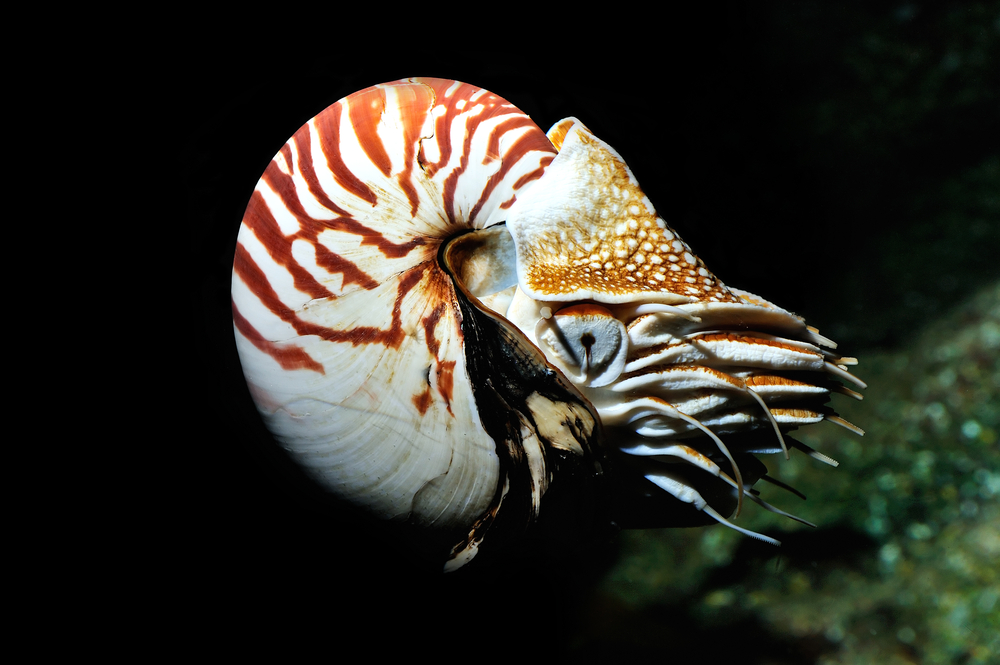 Should We Stop Selling Nautilus Shells Salon