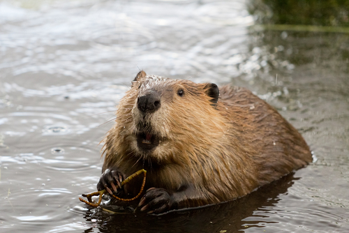 How beavers can save the American West