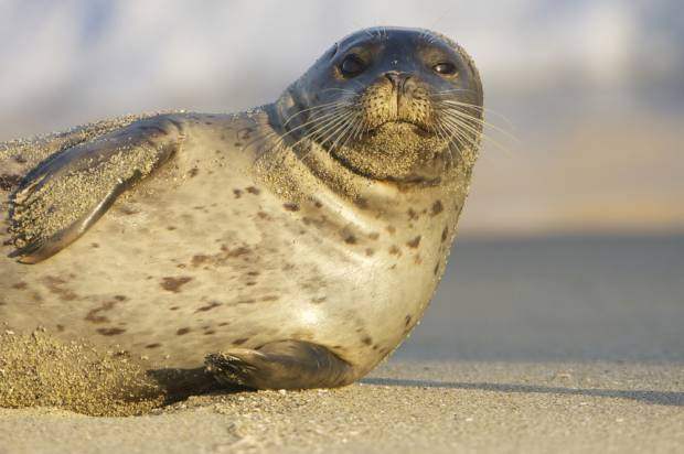 Offshore wind farms are helping seals find food