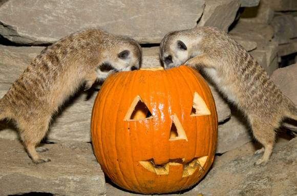 here are some zoo animals playing with pumpkins saloncom