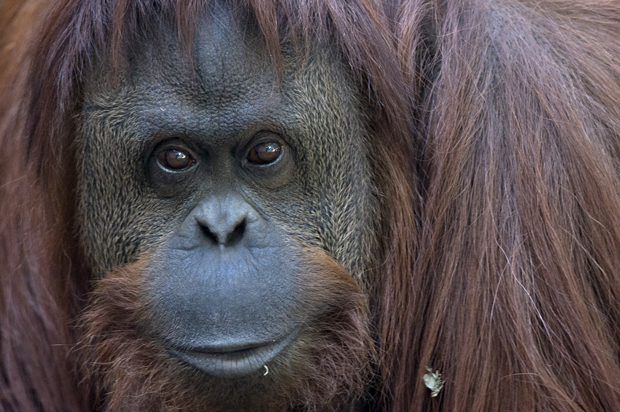 Sandra The Orangutan Granted Basic Legal Rights Salon