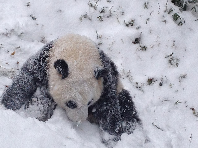Panda cubs playing in snow - photo#23