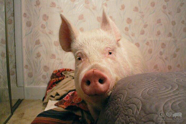 Esther the Wonder Pig is wondrous indeed -- but so are all pigs