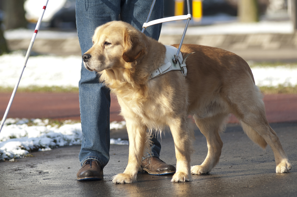 Guide Dog Jumps In Front Of Oncoming Bus To Save Blind