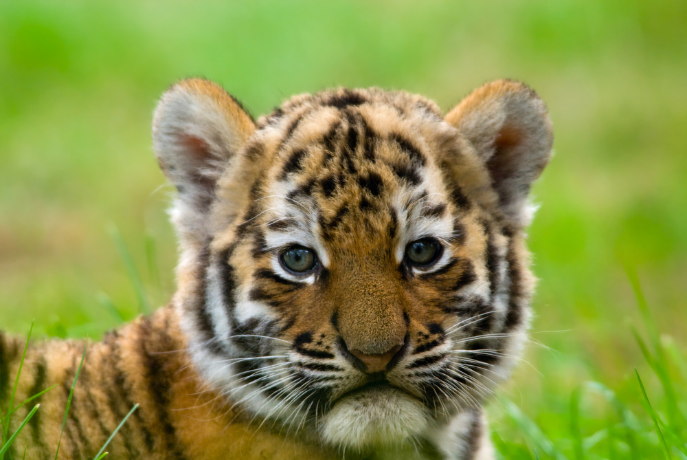 tiger mom harsh parenting Does 'tiger mom' parenting work by kaitlin stanford  past research in western societies have often shown that harsh parenting styles only lead to bad behavior.