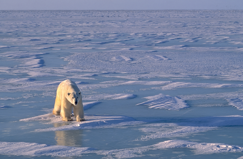 why polar requires usually are endangered