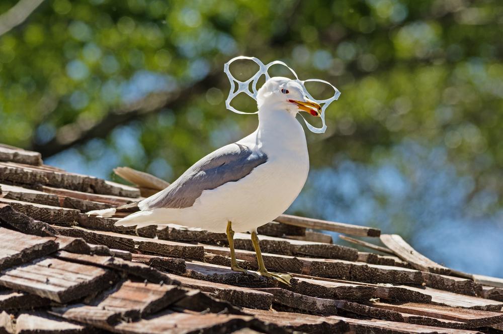 Poor, dumb seabirds keep eating plastic, because it looks like food ...