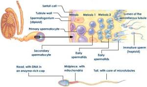 spermatogenesis-and-spermiogenesis-stages