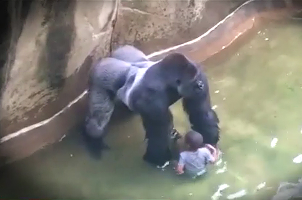 aa49950619c8 Dear Internet experts on gorillas and parenting: Save your outrage ...
