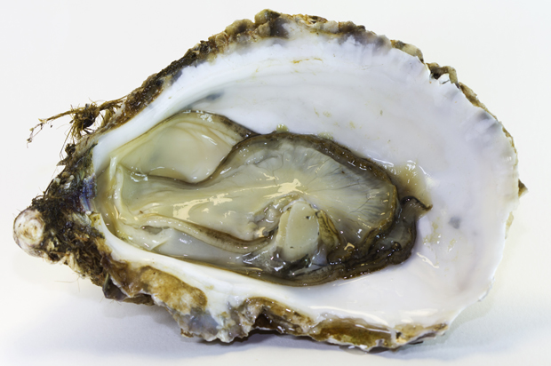 the oyster is your world the little aphrodisiac that