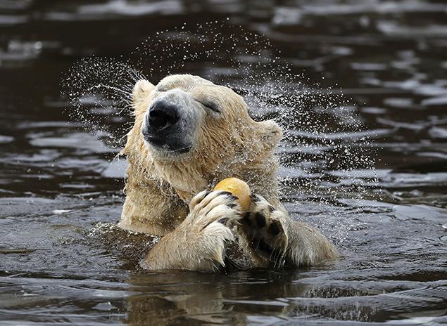 polar bear scotland