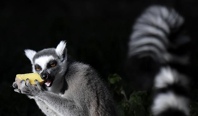 """""""lemur"""""""