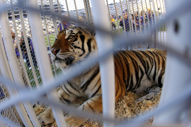 Write my essay tiger