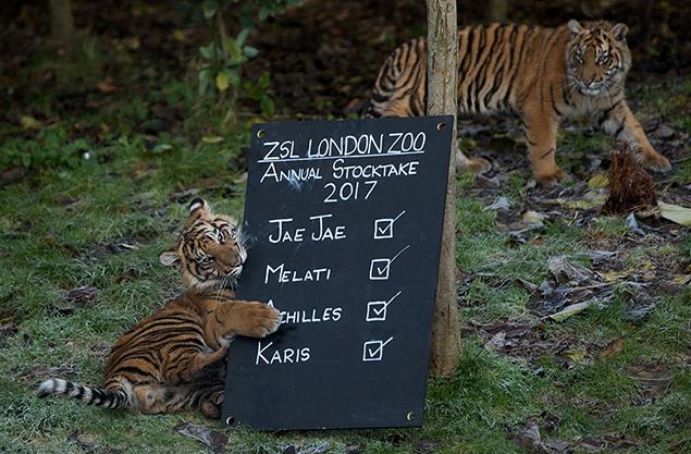 """""""tigers"""""""