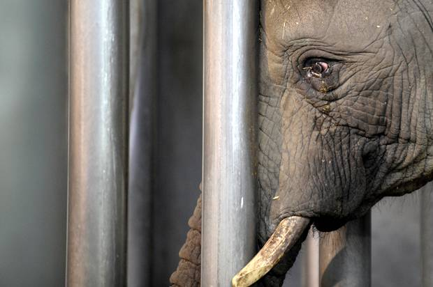 "the debate about the plight of circus animals Animal advocates cry foul on circus ""we have been educating the city council about the plight of wild animals in the circus for the last two."