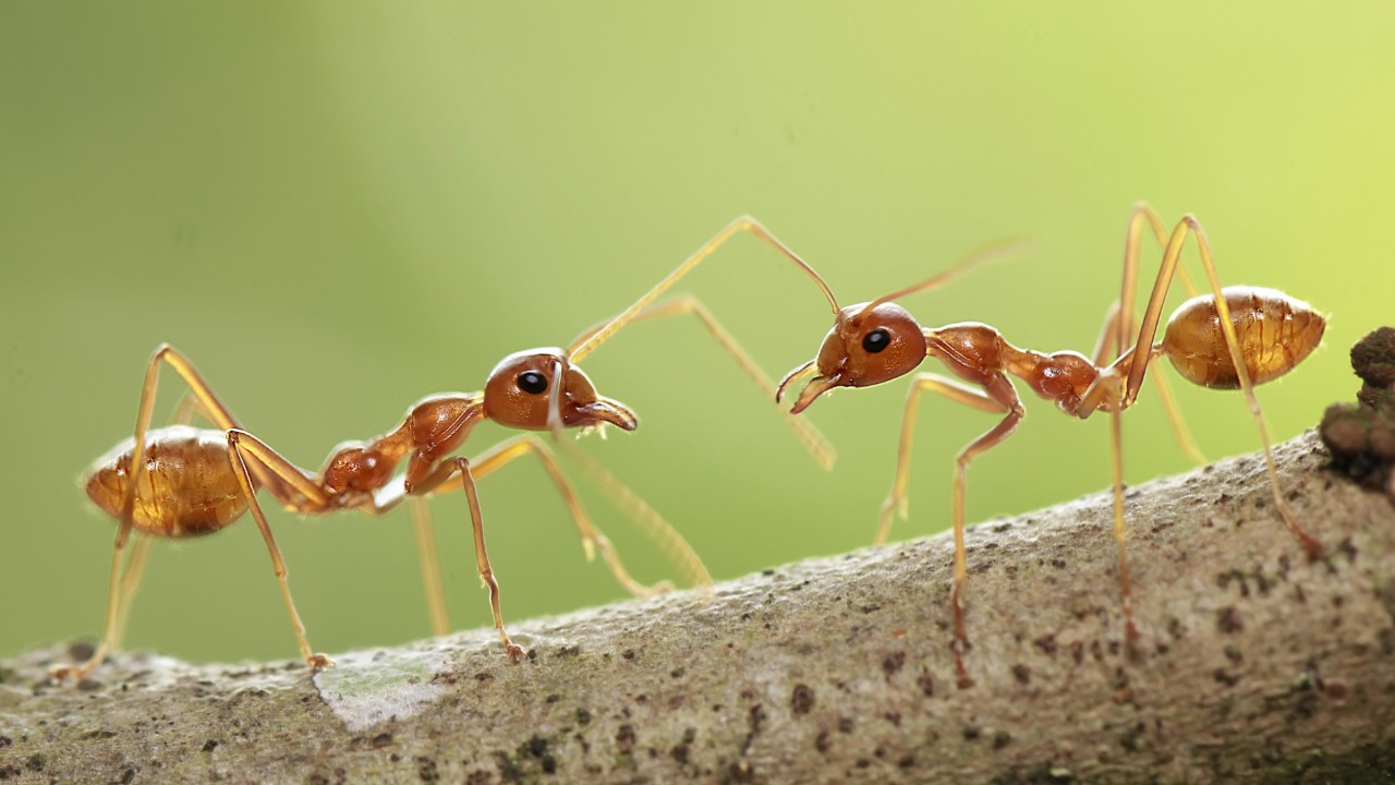 ant civilization depends on intricate system of odors scientists