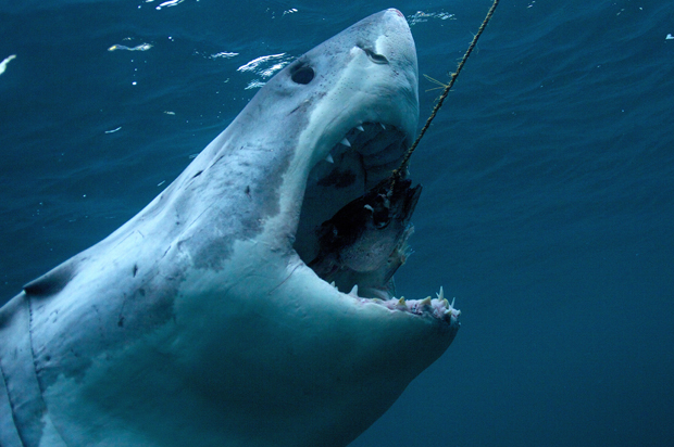 A view of a great white shark.