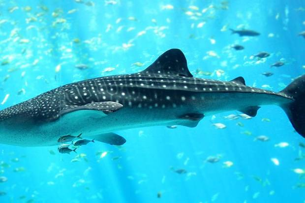 Revealing the mysteries of the magnificent, elusive whale shark