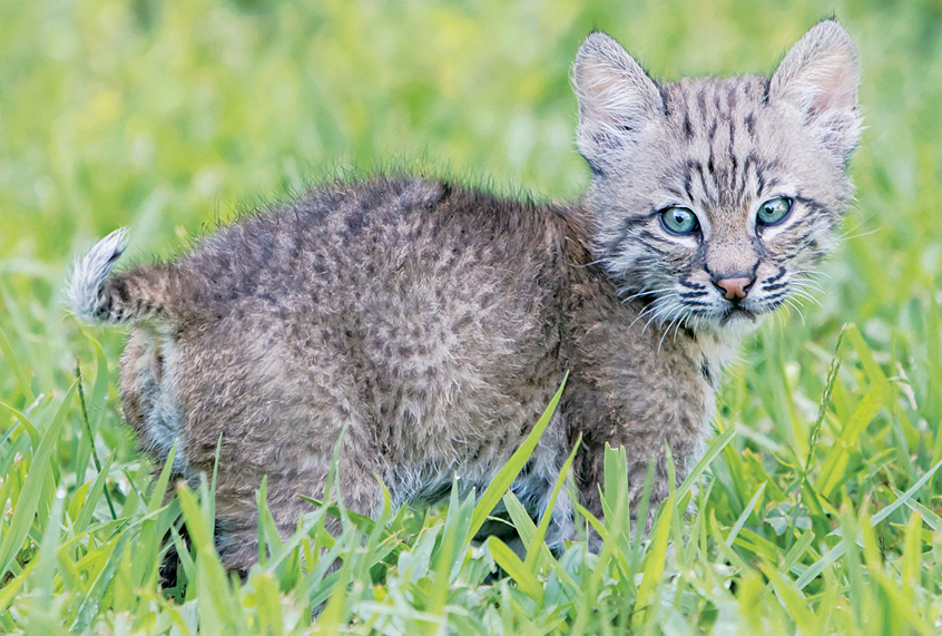 Why I rescued a wild bobcat kitten and raised him as family