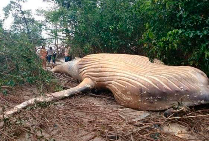 Whale beaching in Amazon jungle fits with recent pattern of whales