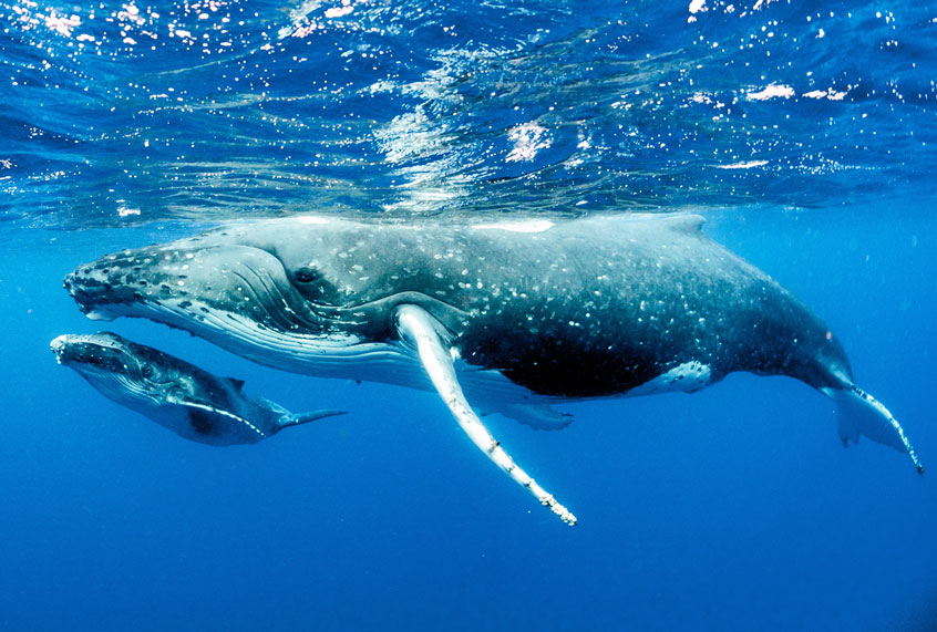 California's humpback whales are threatened by shipping ...