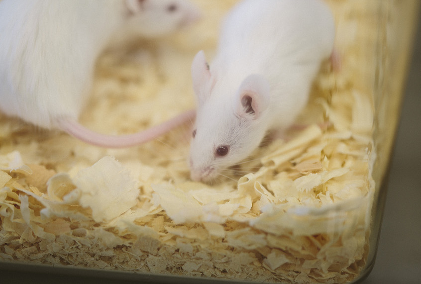 Researchers use CRISPR to eliminate HIV in mice, DNA and all
